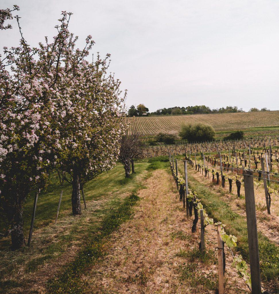 Vignes Château de Côts